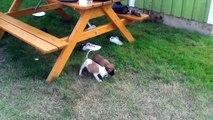 Amstaff puppies - Amstaff valpar