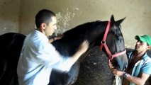 Pedro Michelotto - Acupuncture diagnosis of stifle disease in horses 1.