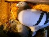 ouadii pigeons voyageurs  2012