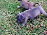 Blue Gray pit bull puppies www.titanbluepitbulls.com