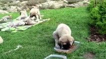 Anatolian Shepherd Dog - Coban Köpegi - Kangal, puppies of Kennel Ankabiro - Czech Republic