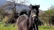chevaux barbes : échapée belle des poulains