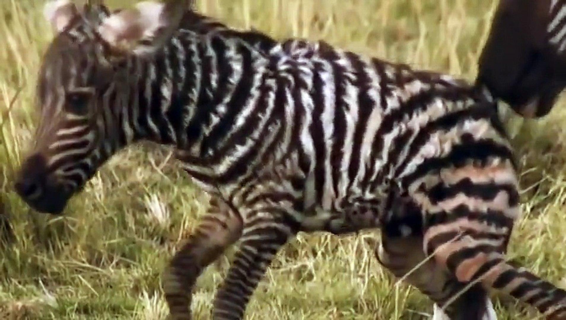Animals´s Cemetery River- Lions & Crocodiles Attacks -- World Animal Movies Full HD 2015