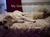 A Little Boy and His Dogs - My Golden Angels - Golden Angels  feat.