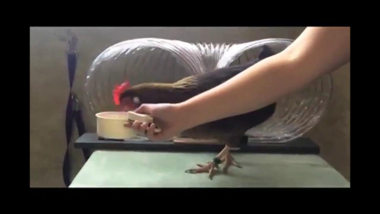 Chicken Shaping – Training Chickens