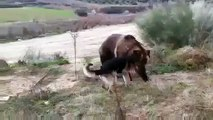 When Crazy Animals Attack Dog attacks Rabid Grizzly Bear ~ Best Funny Animals 20141