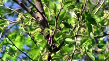 Lincoln's Sparrow, Blackpoll Warbler, Canada Warbler, and More