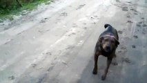When Crazy Animals Attack Psychotic rabies dog attacks!!!!! ~ Best Funny Animals 20141