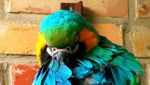 Blue And Yellow Macaw in Opole Zoo Ararauna Zwyczajna w Zoo Opole