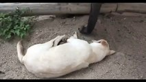 Elephant Tries to Wake Up Sleeping Dog   Funny dog videos 2013