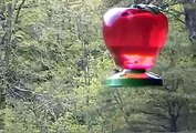 Ruby Throated Male Hummingbird