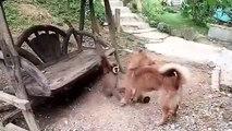 Monkey  vs Dog Intresting play   monkey Dog Fun