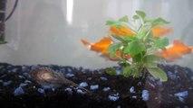 poissons rouges et poisson nettoyeur dans un aquarium