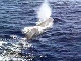 capodogli e balenottere del Santuario Pelagos