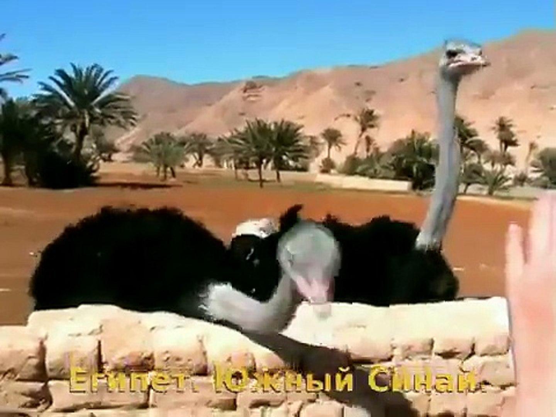 Страусиная ферма. Египет. Страусы кушают финики! Ostrich Farm. Egypt. El Tour. Very interesting!