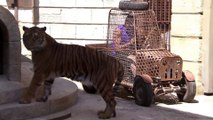 Tony Parker and Boris Diaw had a close encounter with a tiger on a French game show