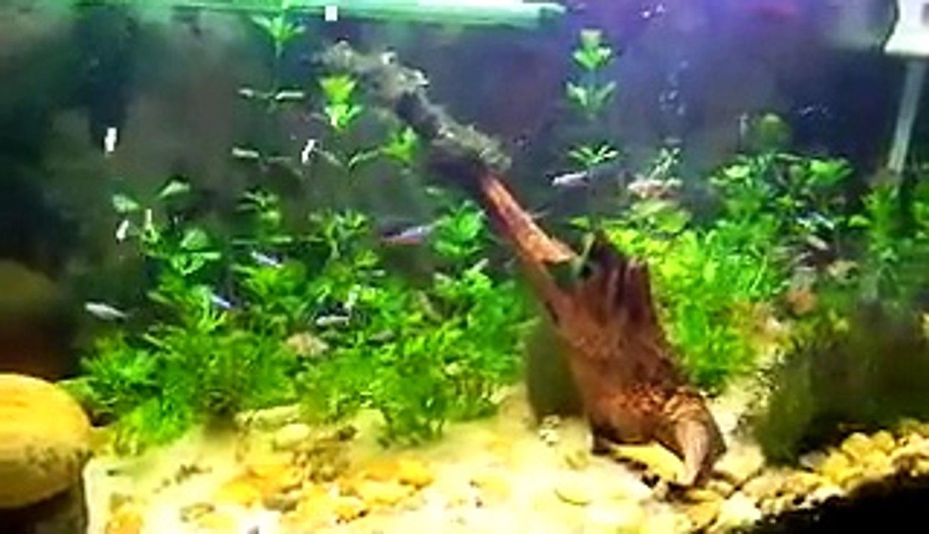 Rã Albina em Aquário Plantado - Aquarísmo