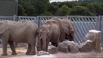 African Elephants at Knowsley Safari Park