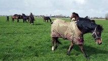 Stal Langelaan het land is weer open! Paarden weer buiten!