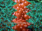 FRAGGING CORALS - Zooanthids, Mushrooms, SPS, LPS, Leather & other Coral Frags for the Reef Aquarium