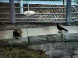Cat vs. Crow.... crow steals mouse from cat!