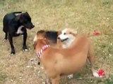 Triple Trouble Dogs: Pit Bulls and Corgi