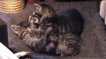 Slow and Dizzy Kitten Fight - Schlaftrunkener Baby Katzen Kampf