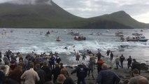 150 dauphins tués pendant une tradition culturelle aux îles Féroé