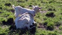 Bébé chèvre embête sa maman - Trop mignon