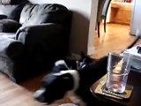 Rat Terriers Vs Pit Bull, Speed V Power