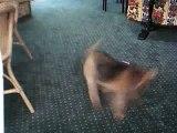 Welsh Terrier Sutton