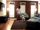 labrador training and puppy barking