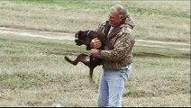 Live Bird Introduction-labrador retriever puppy + golden retriever puppy or any hunting dog puppy