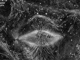 Animal Cell Mitosis (microscopic view) - La Mitose de la cellule animale (vue microscopique)