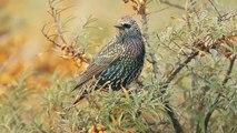 Spreeuw - Sturnus vulgaris - Starling