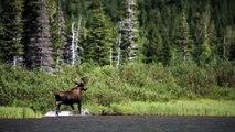 Bull Moose running out of Fishercap Lake in Glacier National Park, Montana
