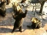 Begging Bears