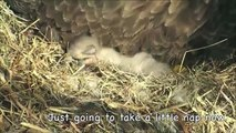 Second Egg Hatches in the NE Florida Bald Eagle Nest (AEF)