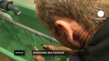 euronews science - Gli ippocampi delle praterie mediterranee