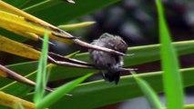 Hummingbird feeding young hummingbird