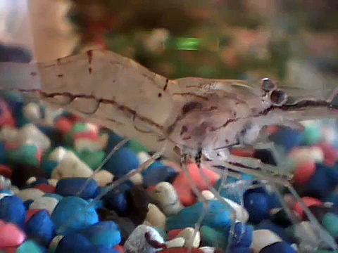Glass Shrimp – Üveggarnéla