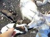 Chèvres miniatures des Tourelles - Câlins avec mes chèvres toys