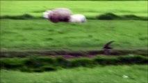 SlowMotion: Swifts / Gierzwaluwen (Apus Apus)
