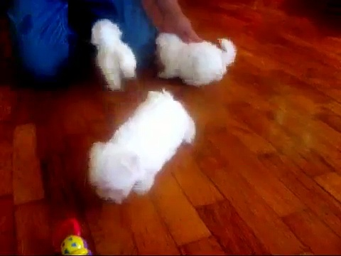 Maltese puppies for sale, maltese breeders, maltese puppies tiny little teacup puppies