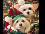 Maltese Merry Christmas - Maltese Puppy Elves