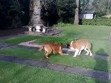 St Bernard and English Bull Mastiff