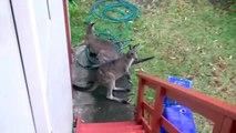 """Kangaroos DO NOT make the ttt ttt ttt noises heard in """"Skippy"""""""