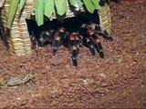 Mexican Red Knee Tarantula Eating a Grasshopper