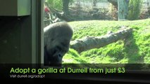 Adopt a gorilla | western lowland gorilla | Animal adoption from just £3