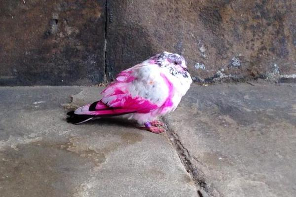 Pink pigeons spotted in UK